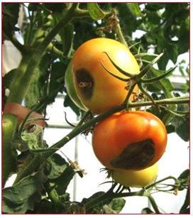 Дефицит кальция на плоде томата