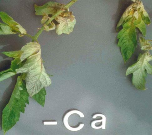 Дефицит кальция у томата