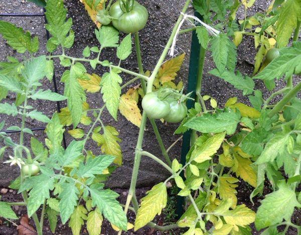 Дефицит питательных веществ у томата