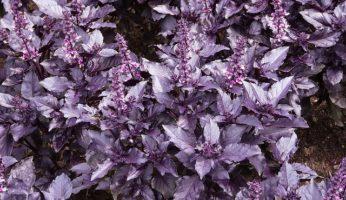 Ереванский базилик цветет