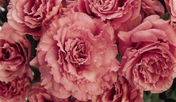 Эустома (Лизиантус) ABC 3 Rose