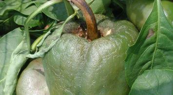 Фитофтора на плодах перца