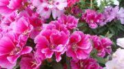 Годеция - общая информация о цветке