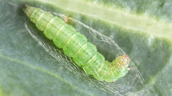 Гусеница капустной моли