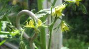 Как опылять помидоры в теплице