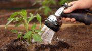 Как поливать рассаду томатов на разных этапах развития