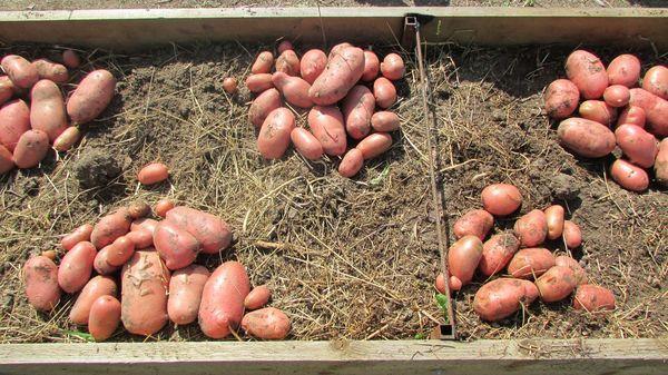 Картофель в теплых грядках