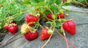 Земляника - особенности выращивания и ухода