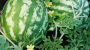 Как и когда сажать арбузы на рассаду и в грунт в 2019 году