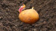 Когда сажать картофель в 2019 году. Лунный календарь