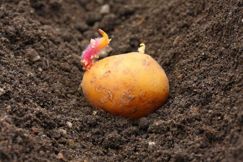 Когда сажают картошку весной 75