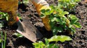 Когда и как сажать клубнику в 2020 году семенами и усами