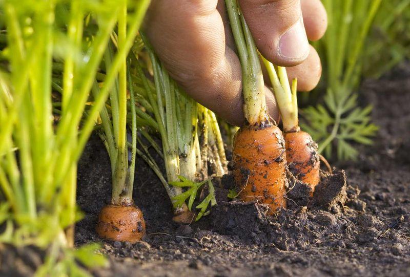 Когда в этом году сажать морковь 501
