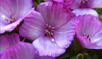 Цветы годеция посадка и уход фото, геодезия цветок