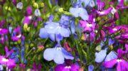 Лобелия: посадка цветка и уход за ним