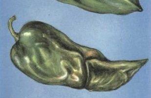 Мокрая бактериальная гниль перца каринка