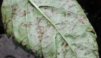 Мучнистая роса на листе перца