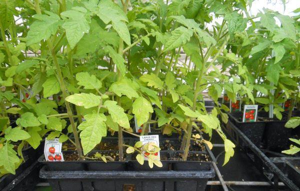 Недостаток азота у рассады томатов