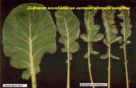 Недостаток молибдена на листьях цветной капусты