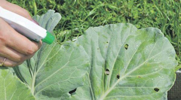 Обработка капусты от вредителей