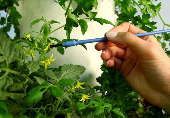 Опыление томатов кисточкой