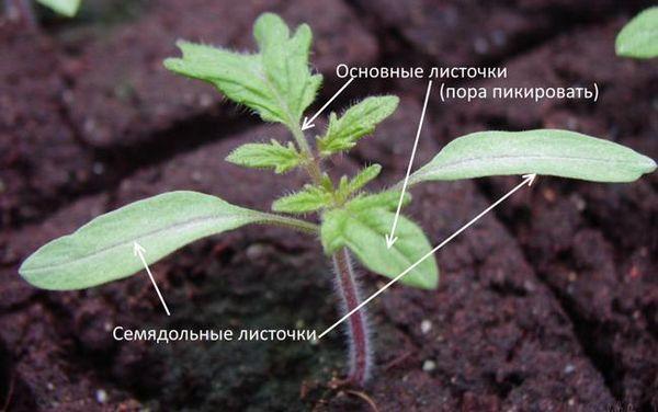 Основные и семядольные листочки