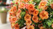 Петуния - посадка и уход за цветком в домашних условиях