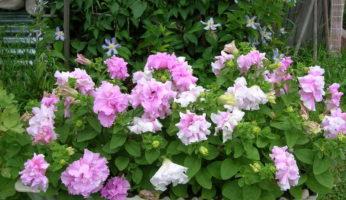 Петуния Дабл Каскад бело-розовая