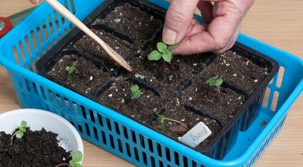 Годеция выращивание из семян когда сажать фото 71