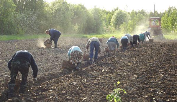 Посадка картофеля в борозды