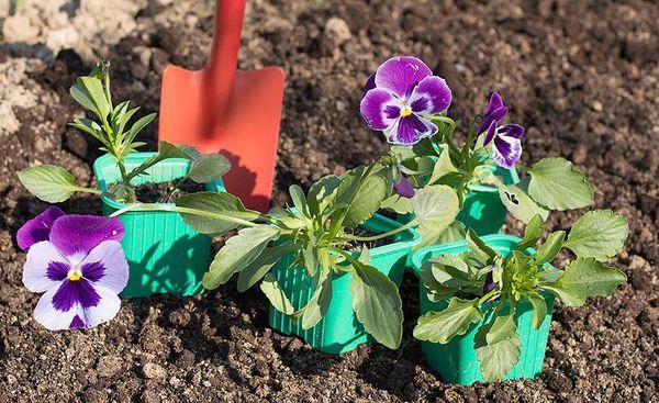 Виола рассада выращивание 42