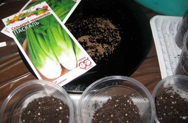 Посев сельдерея на рассаду