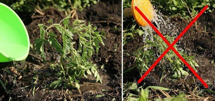 Правильный полив томата после высадки в грунт