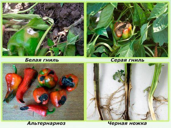 Распространенные болезни перца