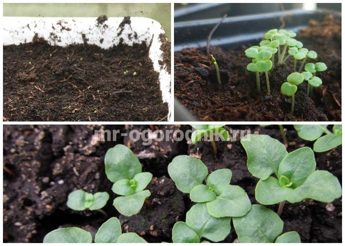 Годеция выращивание из семян когда сажать фото 14