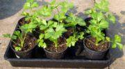 Посадка корневого, черешкового, листового сельдерея на рассаду в 2020 году