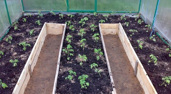 Рассада томатов высажена в теплицу