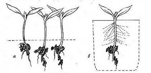 Разница между пикированным и не пикированным растением