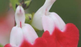 Salvia greggi hot lips