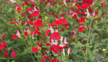 Salvia greggi hot lips