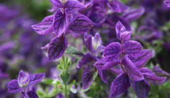Salvia viridis голубая