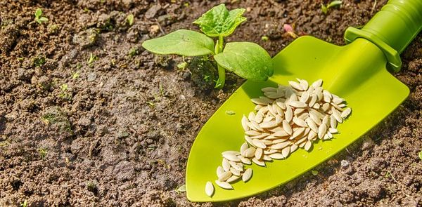 Семена и кустик огурца