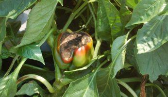Серая гниль на плодах перца