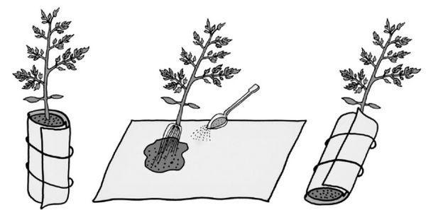 Схема пикировки томата в пеленку