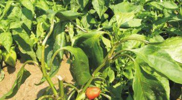 Симптомы столбура на плантации сладкого перца