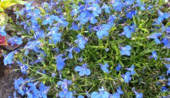 Синяя лобелия
