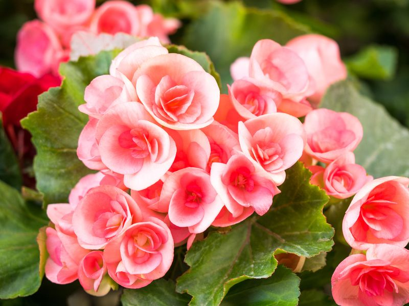 Цветок бегония