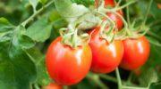 Томат (помидор)