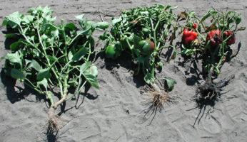 Вертициллезное увядание - здорове и пораженные растения