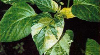 Вирус табачной мозаики у перца